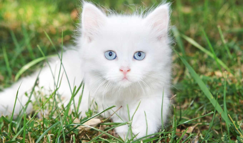 кот, white, глаз, blue, cute, котенок, kit, animal, пушистый