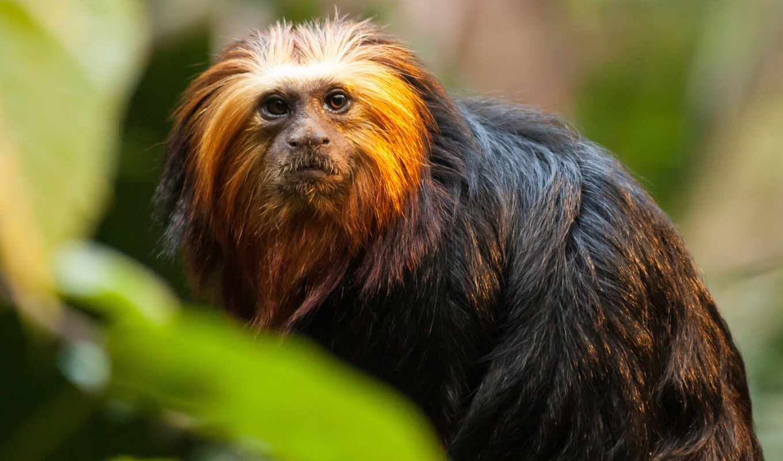обезьяна, tamarina, funart