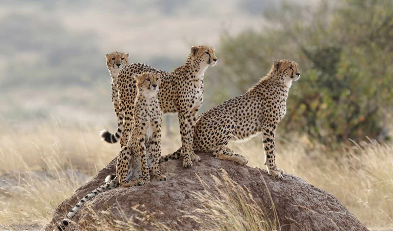 family, pictures, grass, cheetahs, cats,