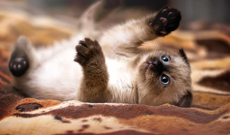 вислоухий, котенок, кот, scottish,