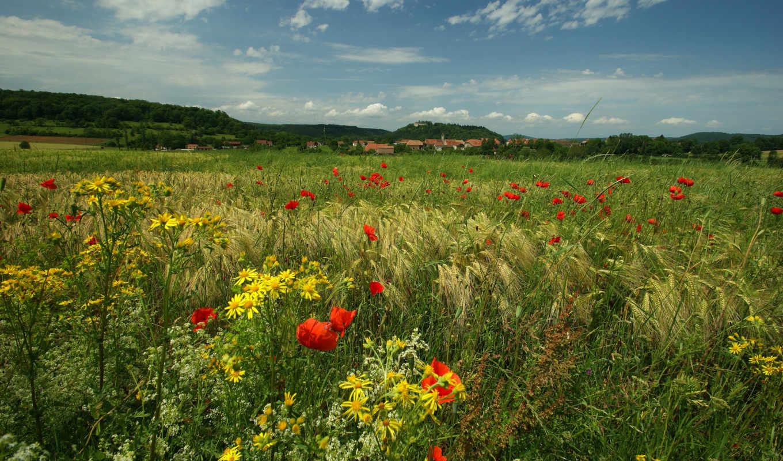 цветы, маки, луг, природа, трава,