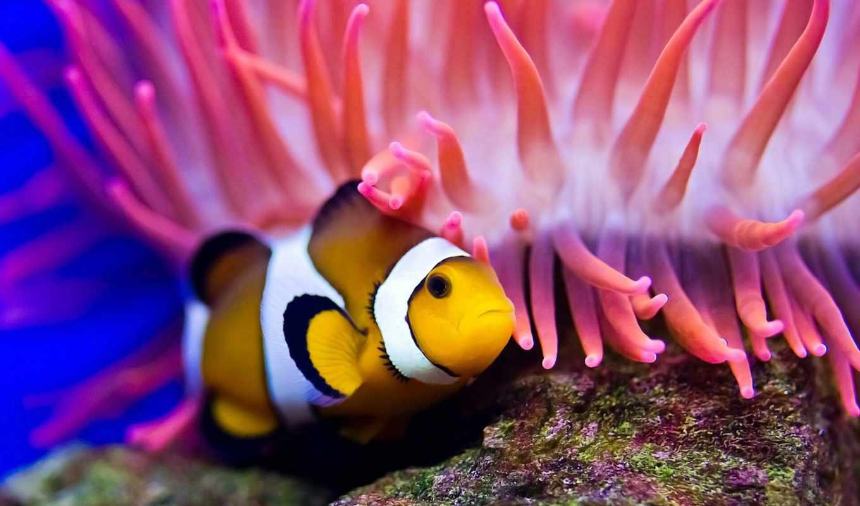 ,, anemone fish, клоун, актиния, рыба, морская биология, макросъемка,  коралловый,