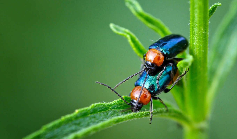 ,жуки, жучки, травинка, зеленый