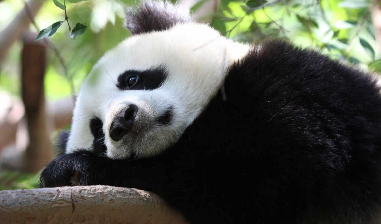 панда, животные,