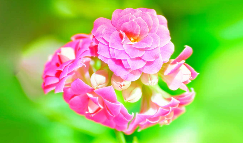 цветы, широкоформатные,