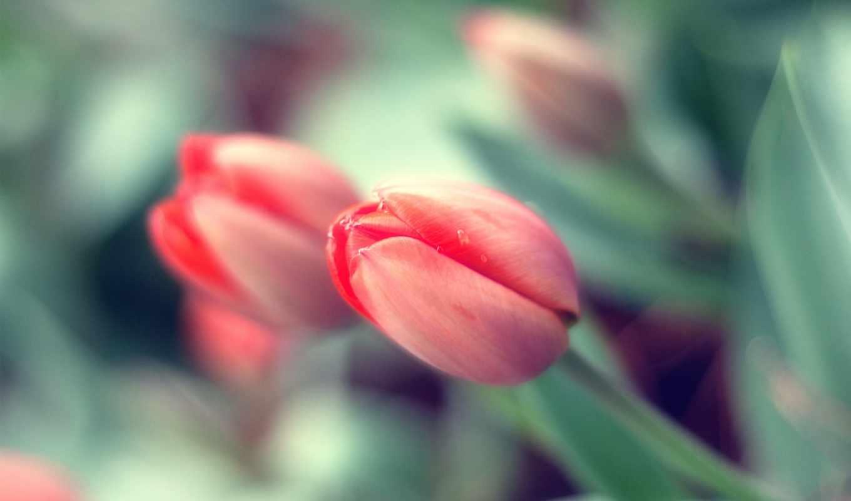 тюльпаны, розовые, разных, нежно, разрешениях, cvety,