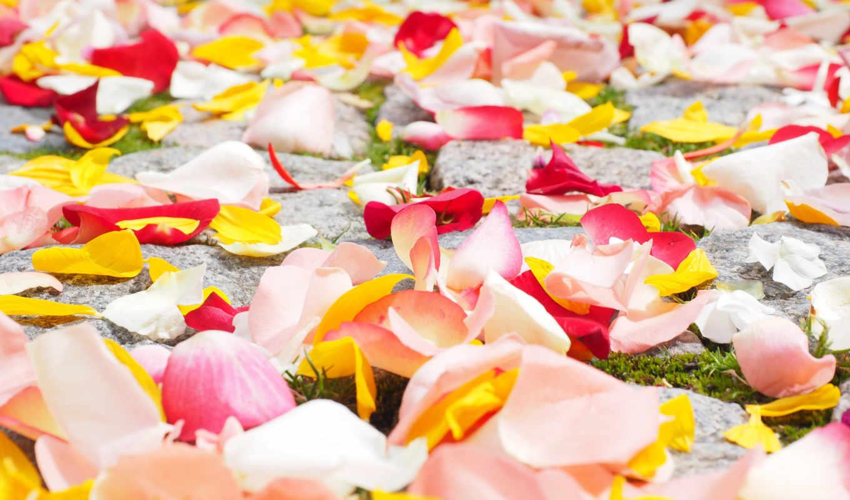 petals, роза, flowers, widescreen, цветы,