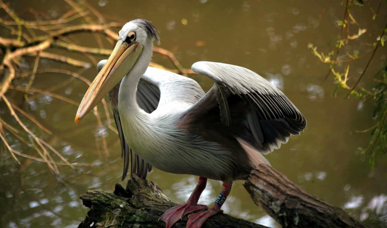 pelican, desktop, free, фон, птица,