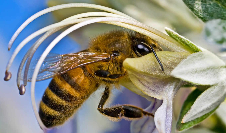 ,пчела, цветок, насекомые,