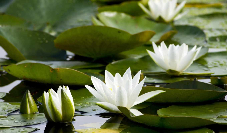 кувшинки, пруд, листья, water, белоснежные, много,