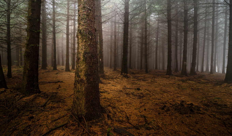 mist, ночь, лес, сосны, стволы,