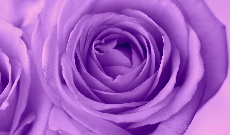 роза, бутон, cvety, октября, размытость, flowers, purple, цветы,