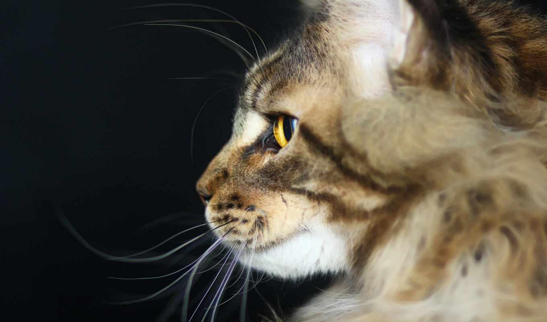 регистрации, без, кот, глаза, мэн, шерсть, кун,