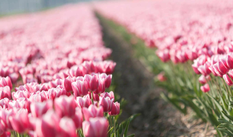 тюльпаны, цветы, тюльпан, бутоны, tulips, весна,