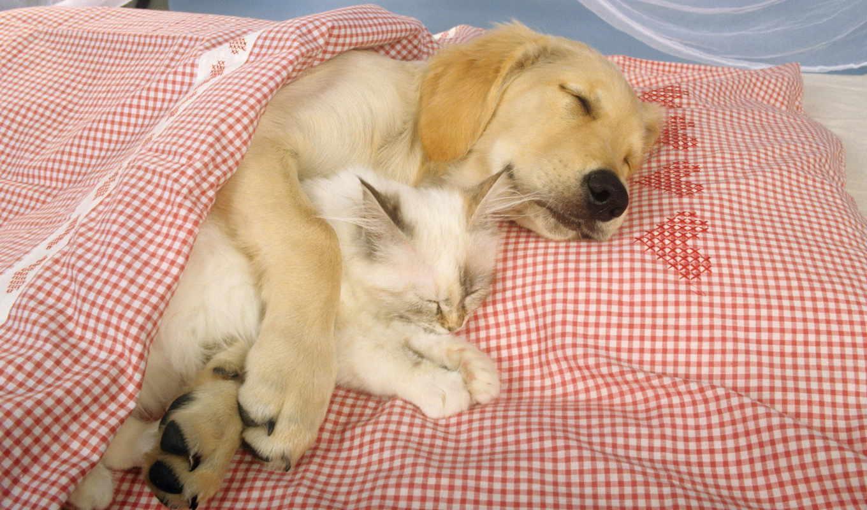 кот, labrador, собака, дружба,