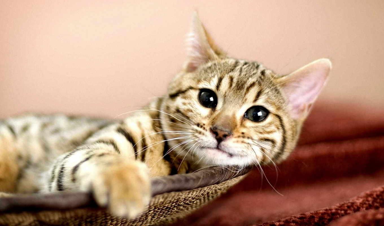 zhivotnye, кот, серый кот,