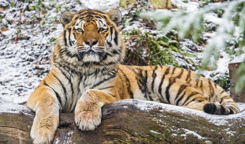 тигр, amur, лежит, log, tambako, кот, тигры, jaguar,