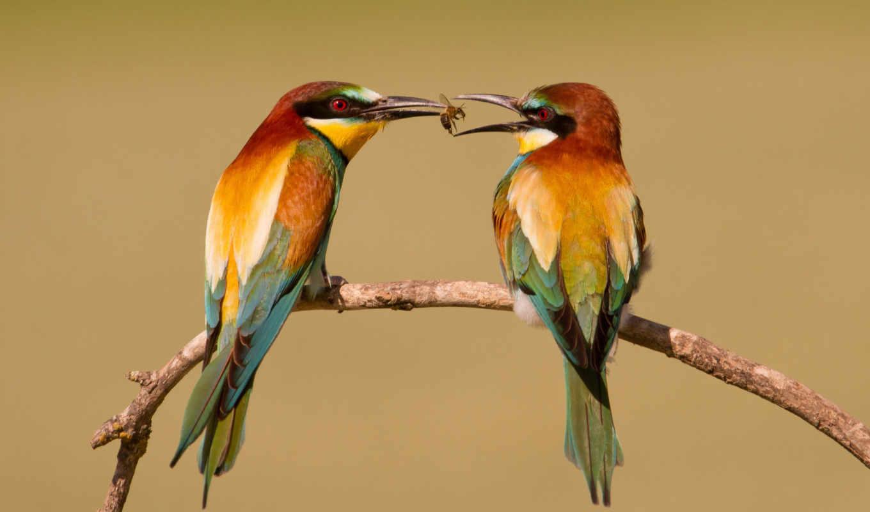 щурка, золотистая, птица, птицы, щурок, щурки, пчелоедка, branch, птиц,