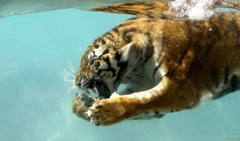 под, тигр, водой, сен,