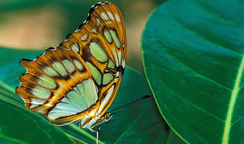 бабочки, насекомые, zhivotnye,
