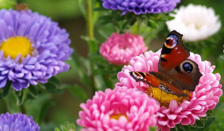 цветы, макро, garden, бабочка, астры,