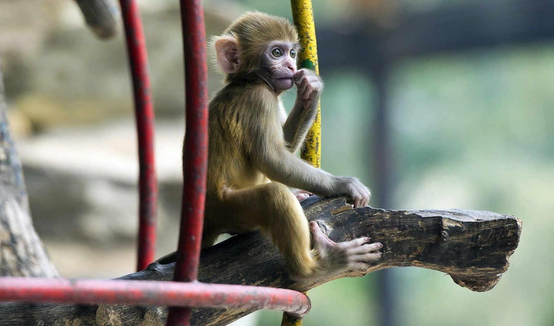 широкоформатные, обезьяна, они, обезьянка, обезьяны,