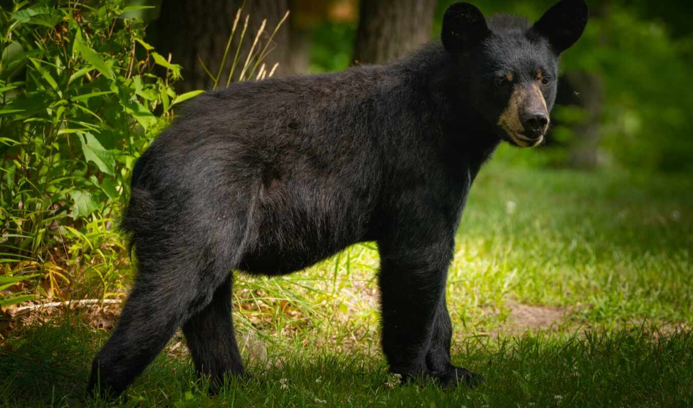 медведь, black