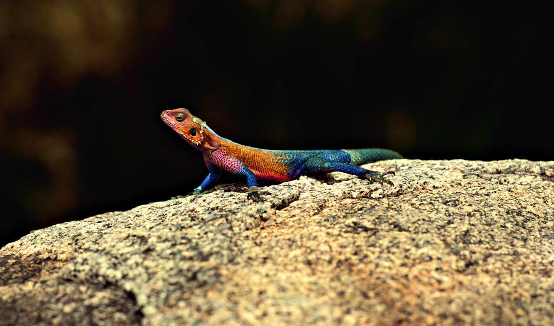 ящерица, камен, разноцветная, просмотреть, zhivotnye, iguana,