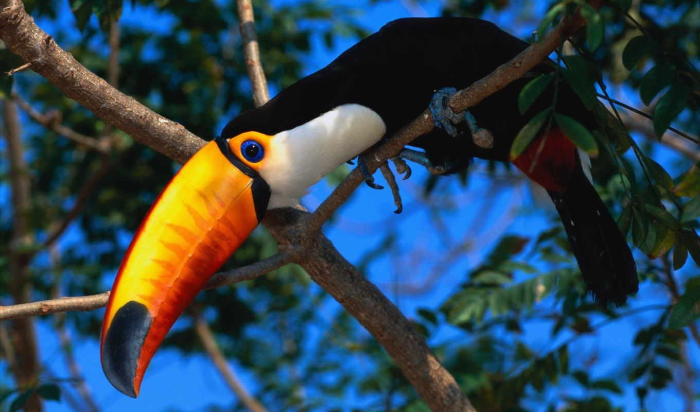 тукан, птица, exotic,