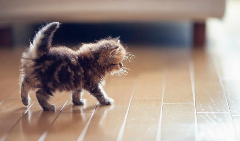 котенок, torode, кот, daisy, бен, пушистый, котята,