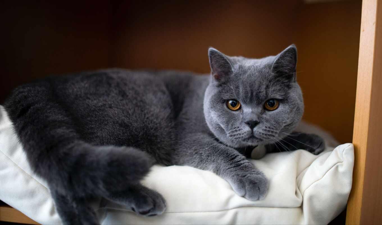 кот, animal, млекопитающее, white, браун, shorthair, attribution, использование, commercial, совершенн, scare
