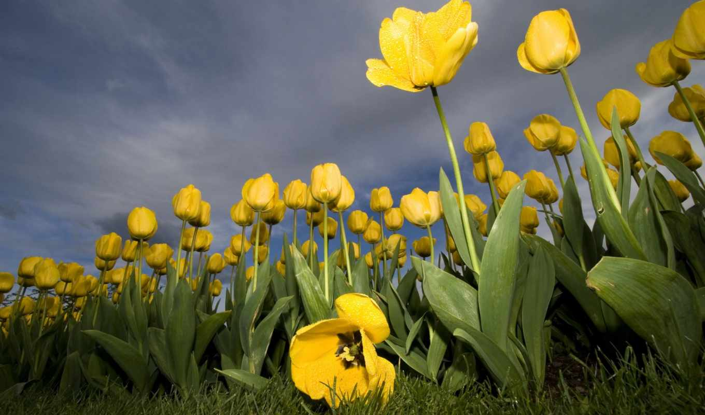 flowers, wallpaper, tulips, yellow, тюльпанов, nature, wallpapers, желтые, widescreen, desktop, тюльпаны, kb, güzel, hotwalls, resimleri, tablet,