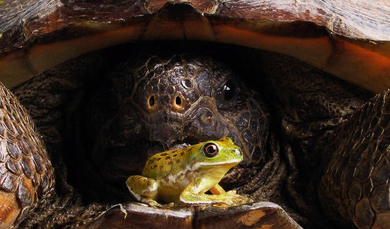 лягушка, черепаха, панцирь, смотрите, une, животные, big, черепахи, animal, og, front, tortoise,
