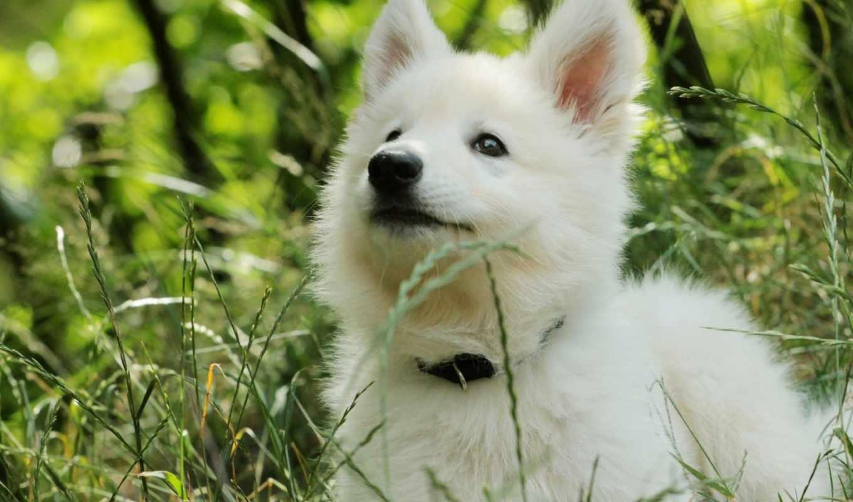 овчарка, щенок, собака, трава