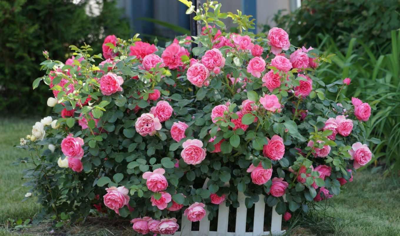 цветы, розы, розовый, roses, bush, garden, desktop,
