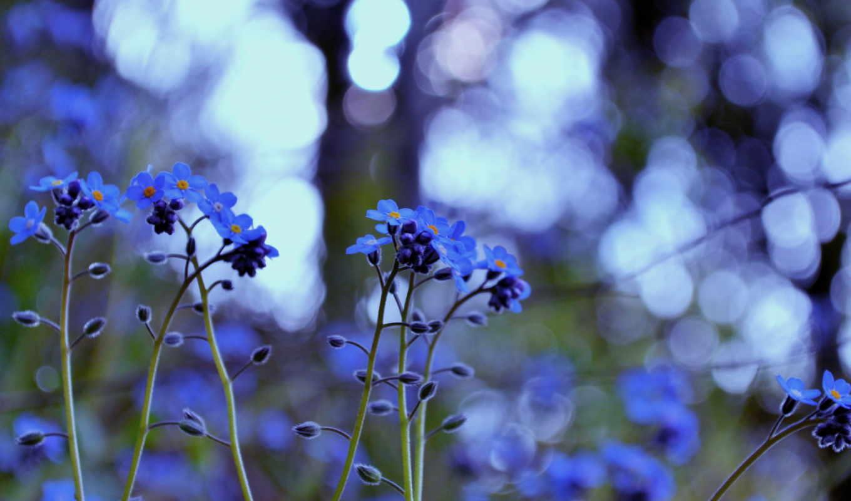 незабудки, цветы, трава, растительность, color, блики, свет,