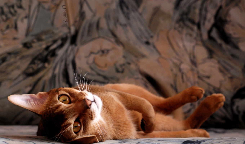 кот, абиссинская, кошек, качестве, высоком,