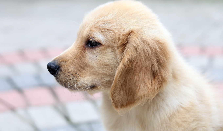 щенок, собака, retriever, profile, labrador, собаки,