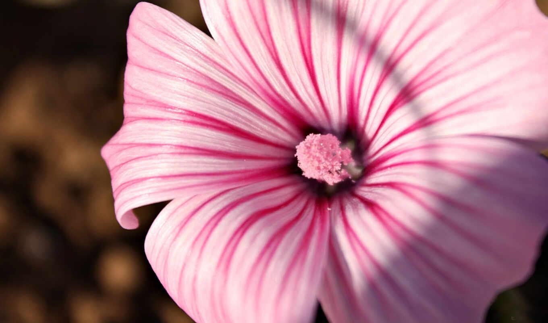 цветы, розовый, песочница, hollyhock, картинка, полоса, найти