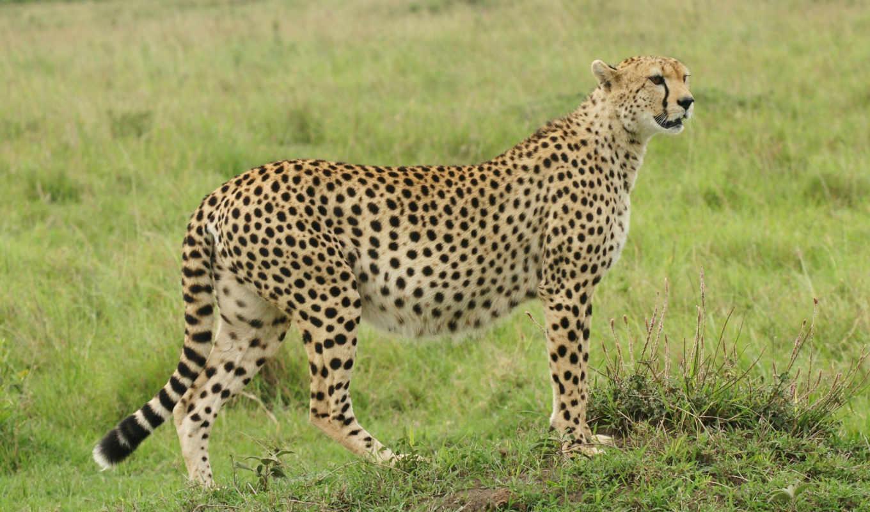 гепард, изображение, desktop, photos, bilder, cheetahs, free, фото,