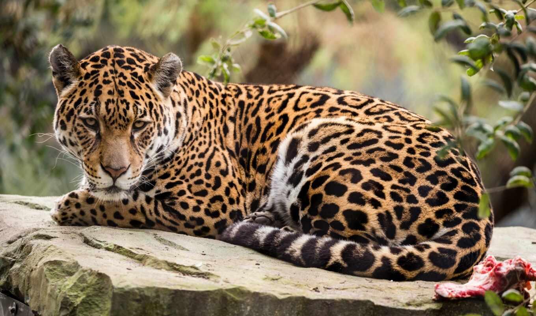 леопард, jaguar, african, descansa, hacia, природа, мира, отдых