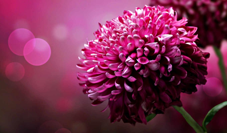 desktop, цветы, background, flowers, лепестки, chrysanthemum, pink, images, хризантема, пурпурные, download, яркие, фоном, абстрактным, яркость, кнопкой, астра, цвет, картинке, purple, кликните,