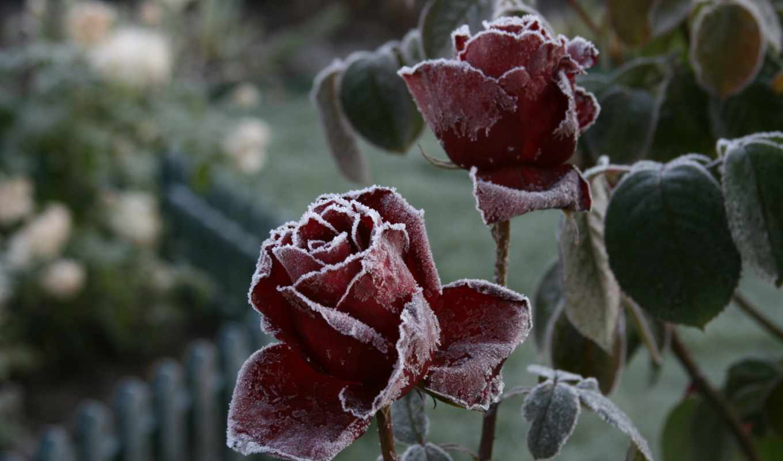 макро, цветы, роза, розы, иней,