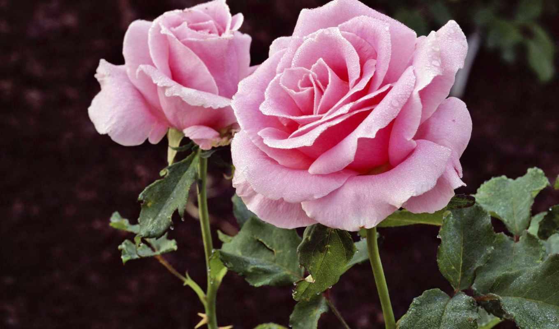 цветы, роза, картинка, розы, роз, фиолетовые, необычная, superdacha,