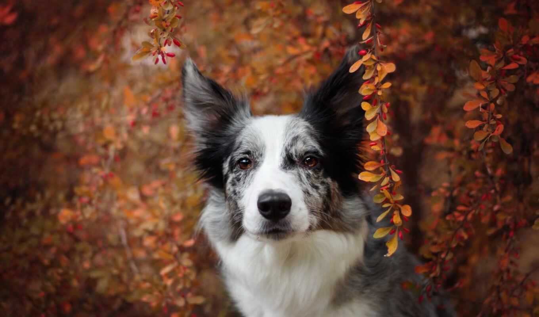 собака, морда, взгляд, border, колли, portrait, осень, природа, смотреть