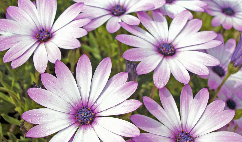 ромашки, поле, сиреневые, цветы, çåðâî, aa, картинка, jan, картинку, flowers, вертикали, горизонтали, имеет,