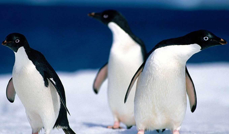 адели, пингвины, pygoscelis, пингвин, adeliae,