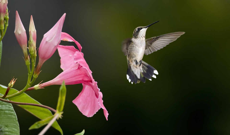 розовый, птица, колибри,