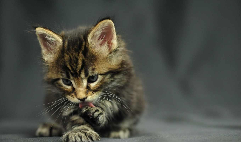 мэн, кун, кот, котенок, красивые,