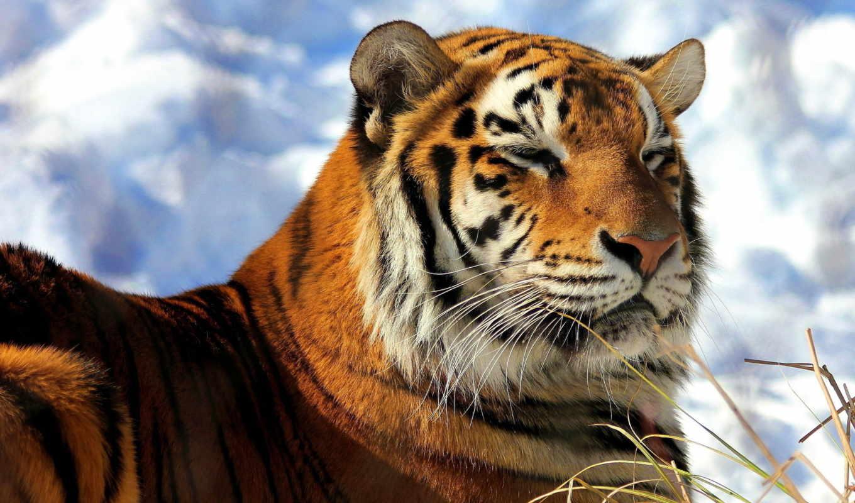 тигр, amur, морда, снег, кот, хищник, one,